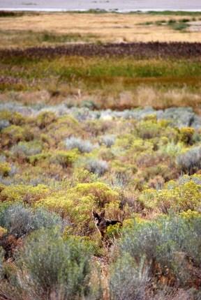 Coyote at Antelope Island - Great Salt Lake, Utah