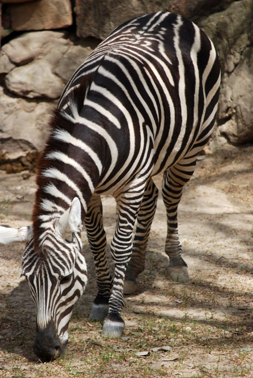 I look good in stripes - Fort Worth Zoo, Texas