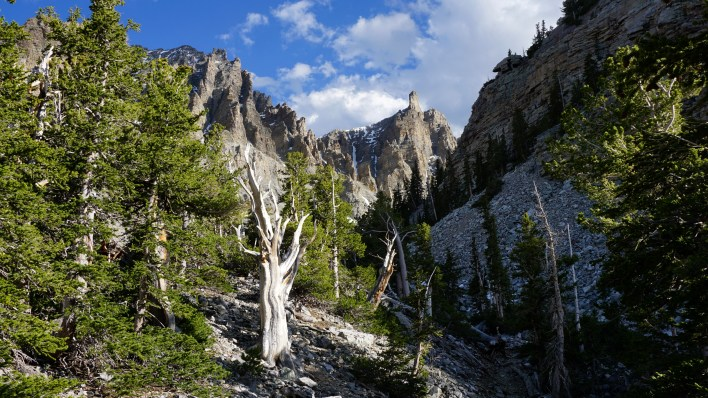 Ancient Ones, Bristlecone Pines - Great Basin National Park