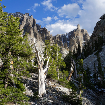 Bristlecone Pines of Great Basin National Park