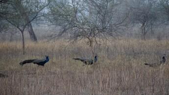Wild Peacocks - Ranthambore National Park, India