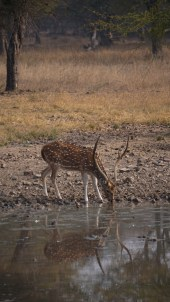 Spotted deer - Ranthambore National Park, India