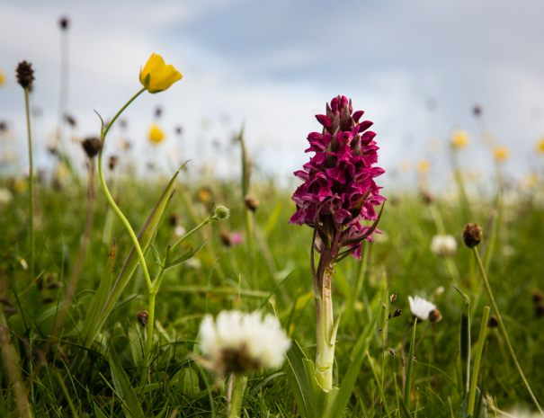 Orchid in Machair (©Leading Lines)
