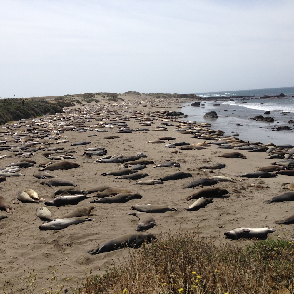 Elephant seals at San Simeon Beach.