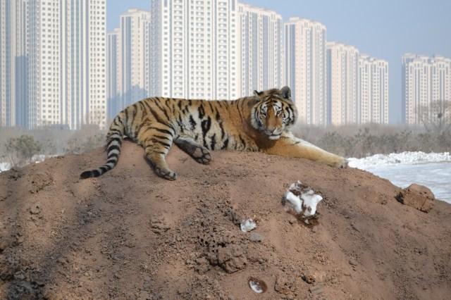 Harbin Siberian Tiger park