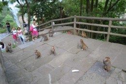 Zhangjiajie monkeys