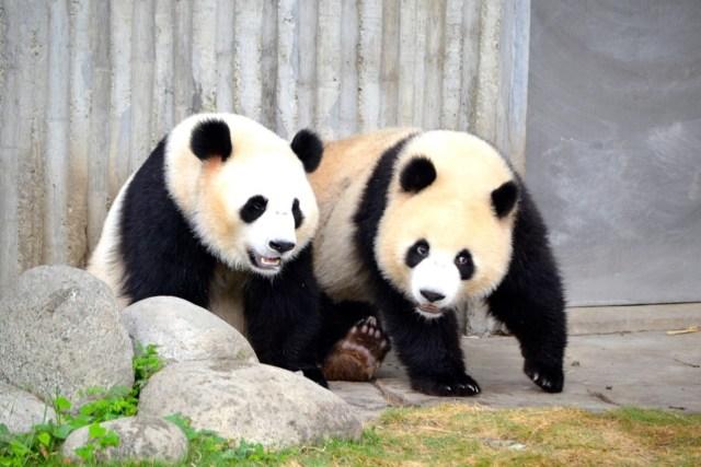Chengdu panda reserve