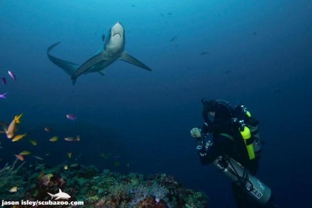 Thresher Sharks diving
