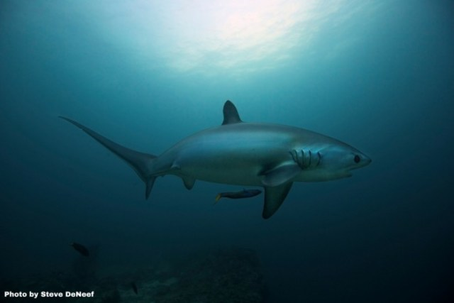 Thresher Sharks Malapascua