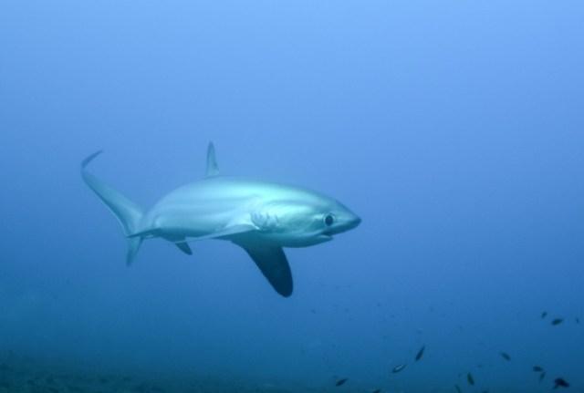 thresher shark Malapascua