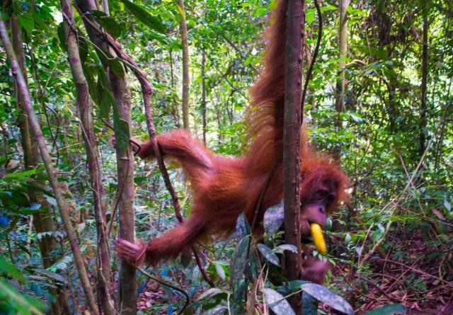 Orangutan trekking