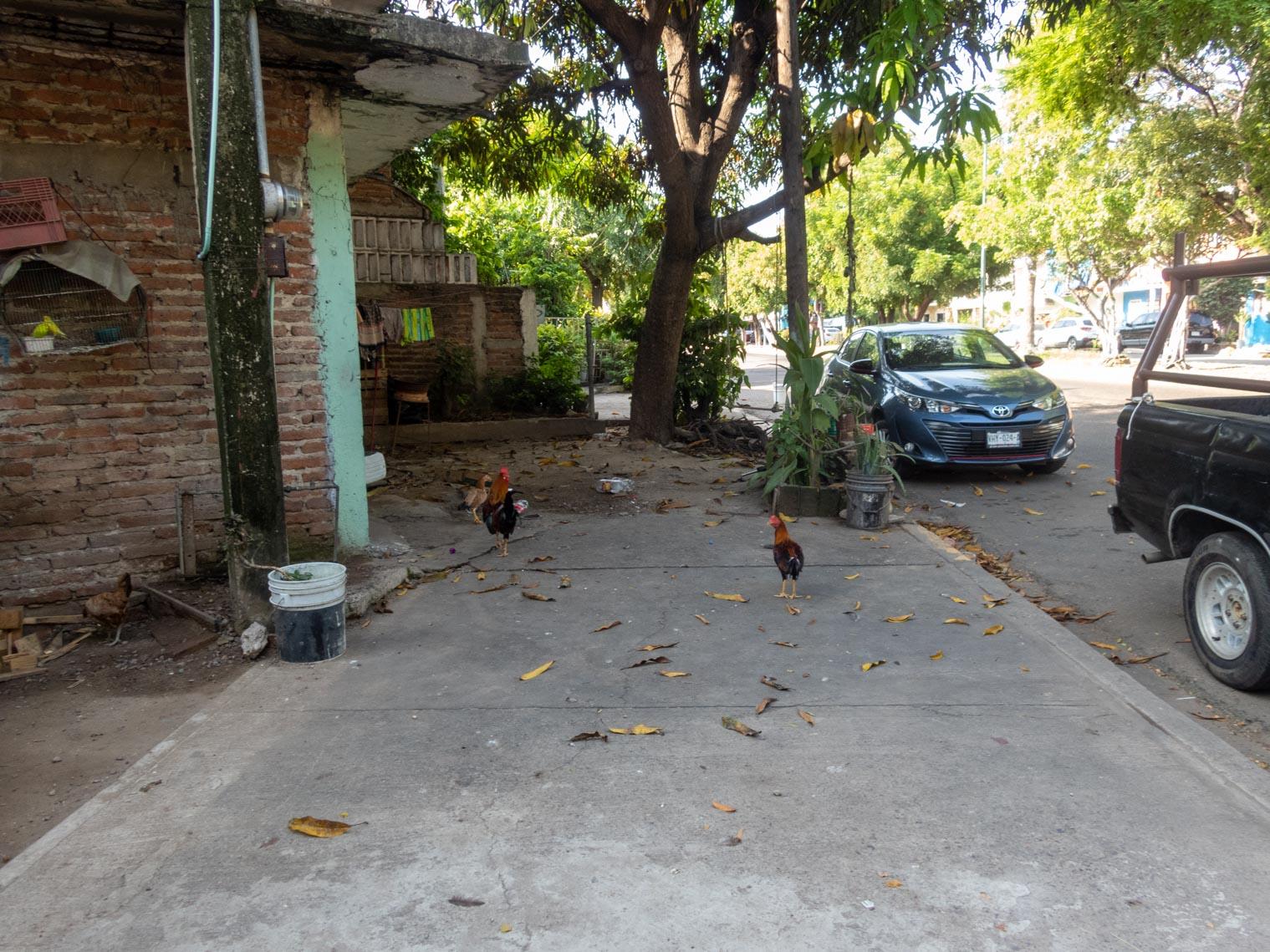 Mazatlán Chickens