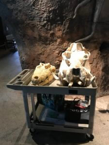 Crocodile and hippo skulls. Educational display at San Antonio Zoo. Staff was available to demonstrate how the crocodile opens and closed his mouth.