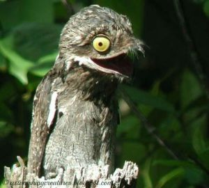 Potoo bird, nature, oddities