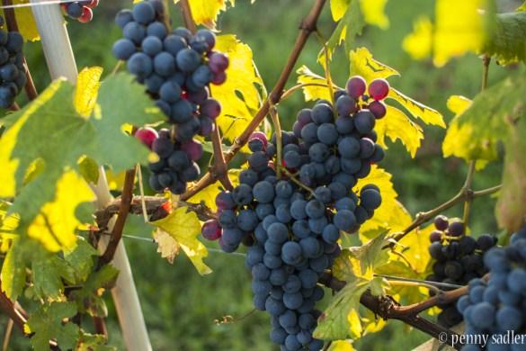A beautiful wine tour francone @PennySadler 2015