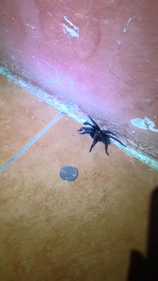 ^ The largest wild spider I have ever seen in my life!! I literally made an audible gasp when I saw this thing.