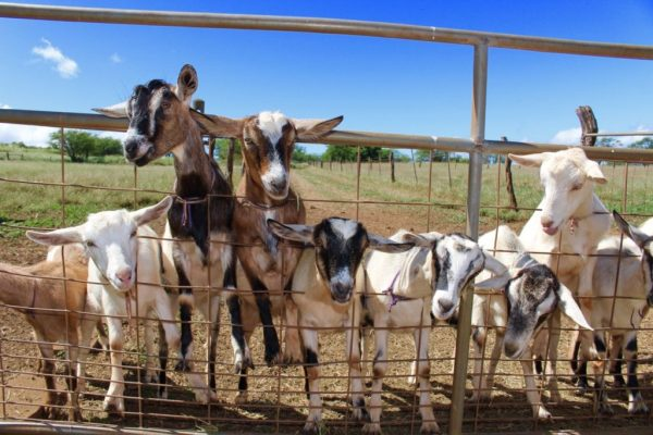 Perfect goats on fence