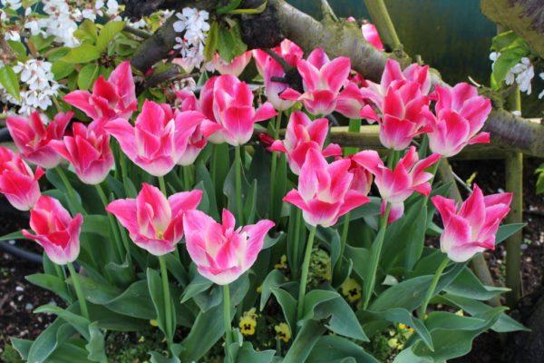 spectacular tulip display