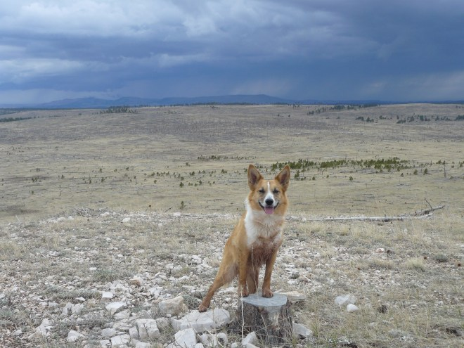 Bloodily wounded heroic dingo Lupe struggles triumphantly to the towering pinnacle of Summit Hill shortly before the onslaught of the coming storm.... actually no.. that's not blood, just mud from the stock pond. A rainstorm was coming though from the direction of Elk Mountain to the WSW.