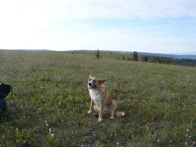 Lupe on King's Hill, Montana 8-2-14. Photo is looking S.