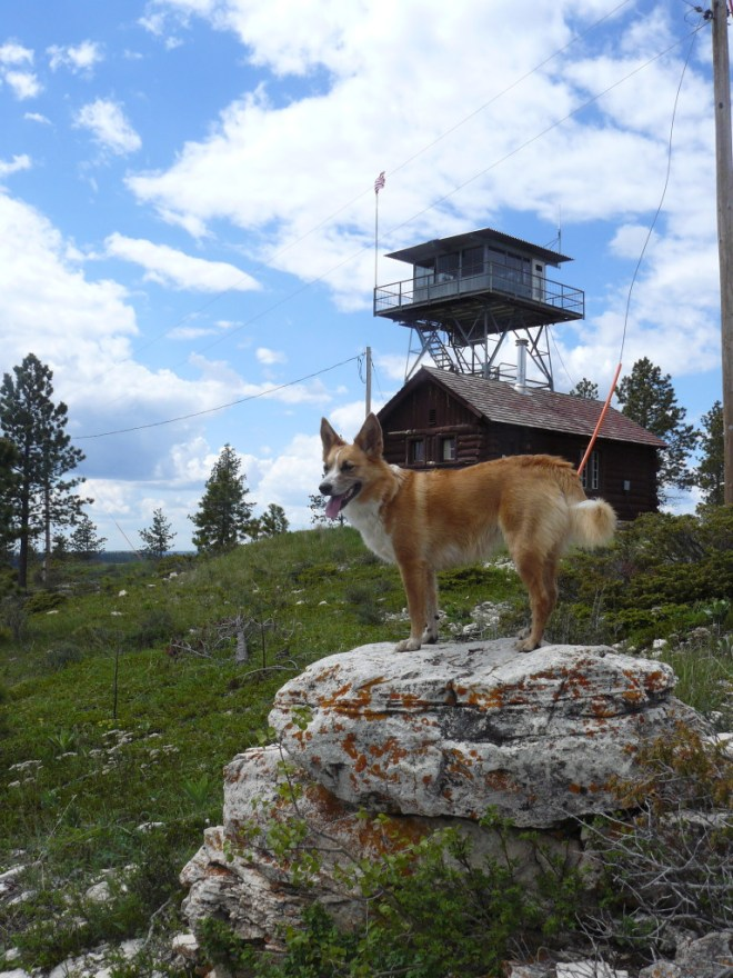 Lupe S of the ranger tower on Bear Mountain.
