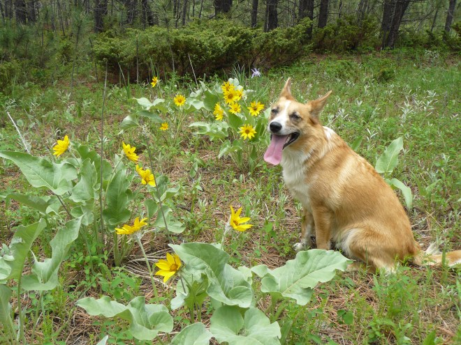 Lupe among the pretty yellow flowers N of Castle Mountain.