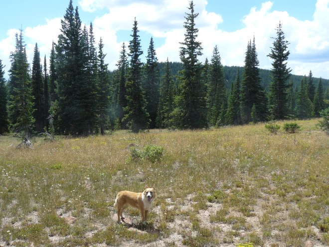 Lupe reaches the meadow NE of Red Mountain - the forested ridge seen through the trees. Photo looks SW.