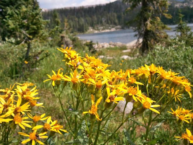 Wildflowers in the Beartooth Mountains, WY 8-11-12