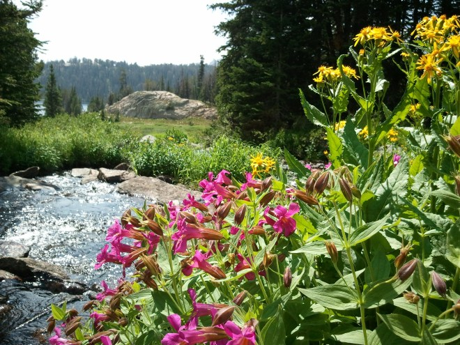 Wildflowers along stream N of Beauty Lake, Beartooth Mountains 8-11-12