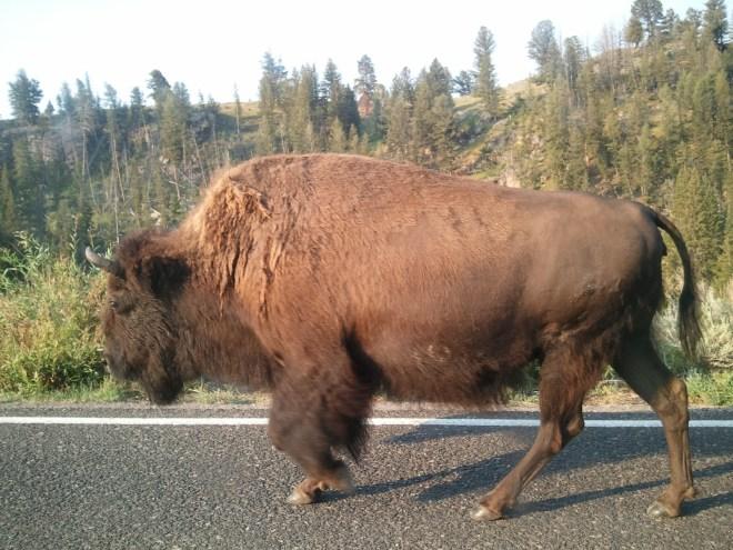 Buffalo in Yellowstone NP, WY 8-12-12