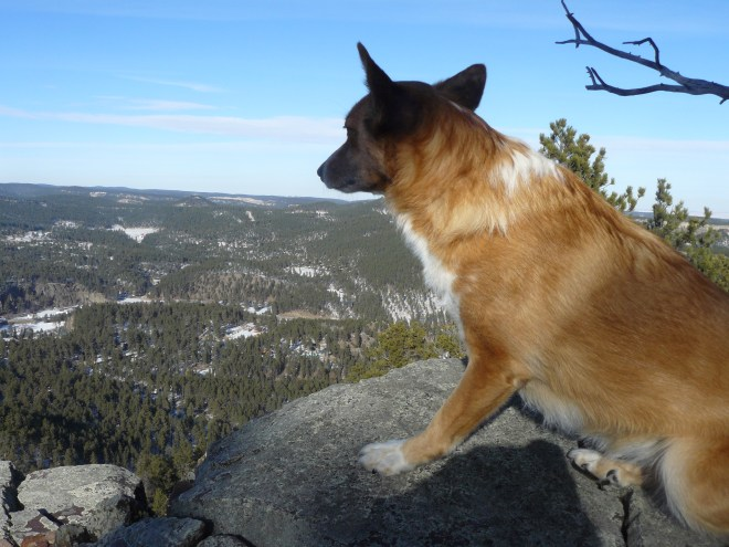 A still somewhat nervous American Dingo scans the NW horizon from the rocky ledge a short distance NW of the summit of Thrall Mountain.