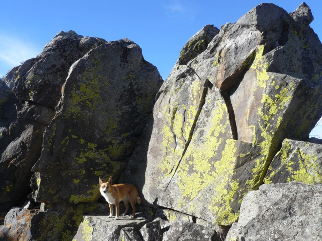 Lupe at the true summit of Smith Mountain. She climbed higher than shown here, and SPHP lifted her up so her paws could touch the big rocks within just a foot or two of the very top. That was close enough! The American Dingo was claiming a peakbagging success! Dingoes are practical, not purists. Photo looks W.