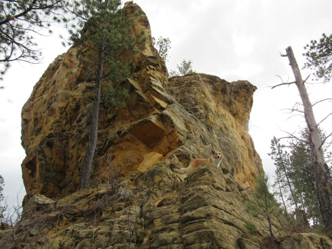 Lupe perches on rocks beneath the yellow overhanging cliffs at the narrow N end of Yellow Butte. Photo looks S.