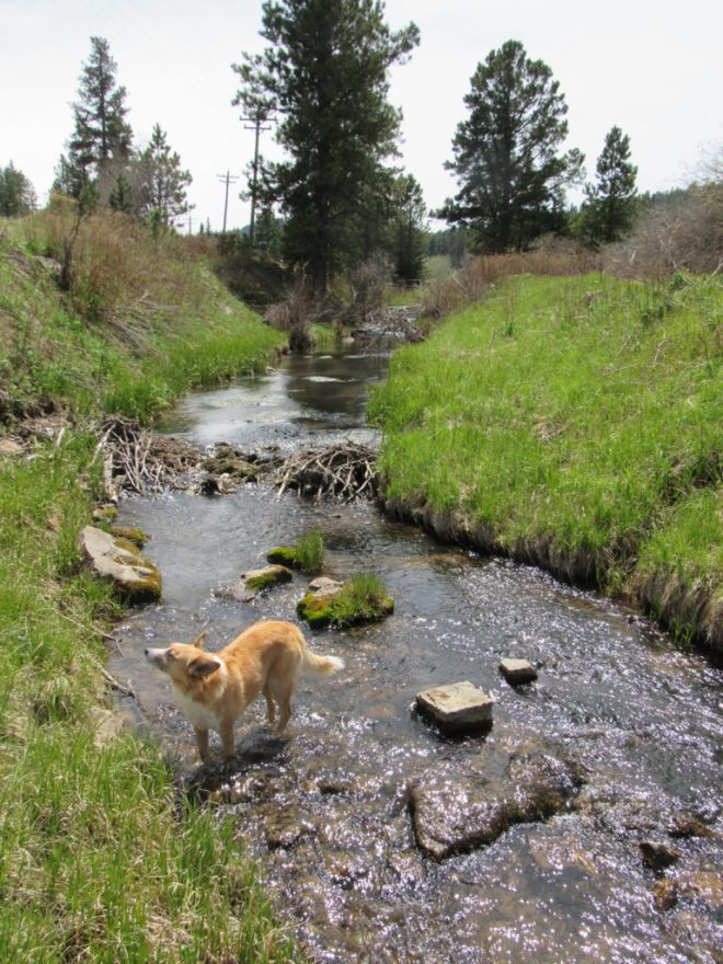 Lupe cools her paws off in Aqueduct Creek shortly after her break at the Englewood trail head of the Mickelson Trail. Photo looks SSW.