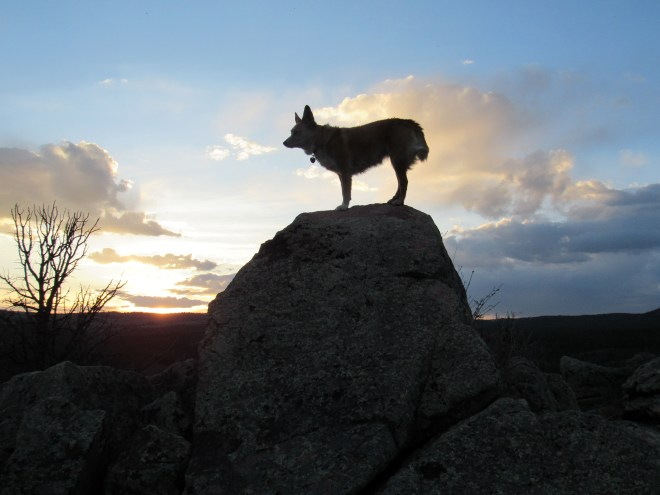Lupe on Bennett Hill, Laramie Mountains, WY 5-30-16