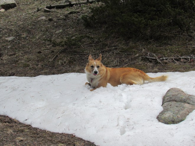 Lupe found this snowbank to cool off on up on the ridge E of Campbell Creek.