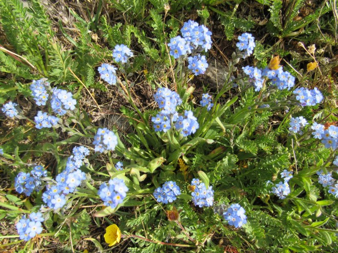 Tiny blue flowers like these were abundant on the upper slopes of Hazelton Pyramid.