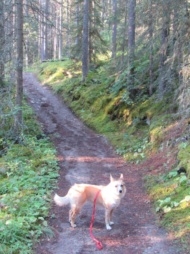 Lupe in the forest on the first part of the trail to Bourgeau Lake, Harvey Pass, and ultimately the summit of Mt. Bourgeau.