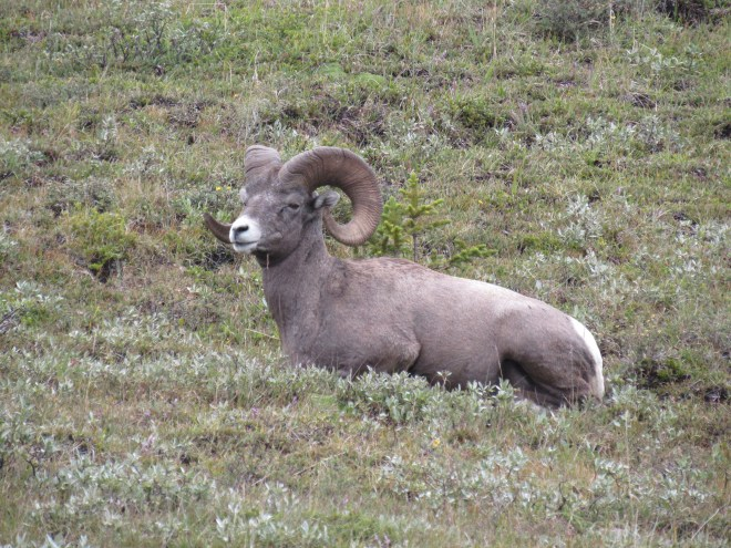 Bighorn sheep near Wilcox Pass, Jasper NP, Canada 8-3-16