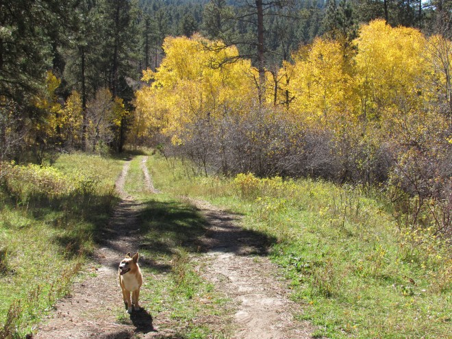 Even when Lupe passed by the same stand of golden aspens along USFS Road No. 872.1F where she had found the squirrel early in the morning, SPHP didn't realize where she was, or that she was going the wrong way!