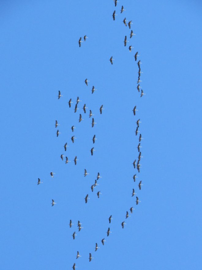 Geese flew by almost right overhead. Photo looks, umm, up using the telephoto lens.