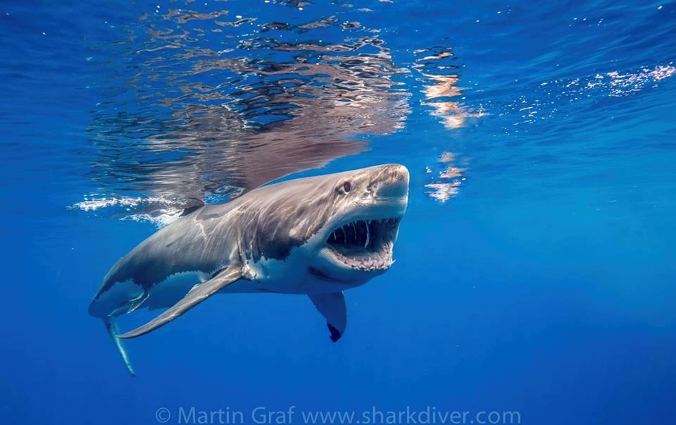 Surfer circled repeatedly by great white shark