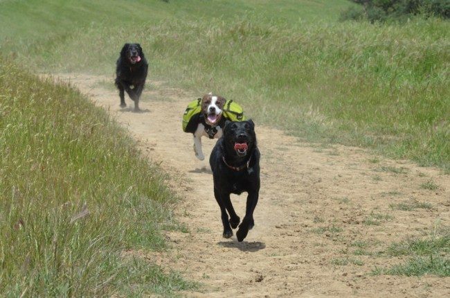 My dog leading two other dogs running towards the camera