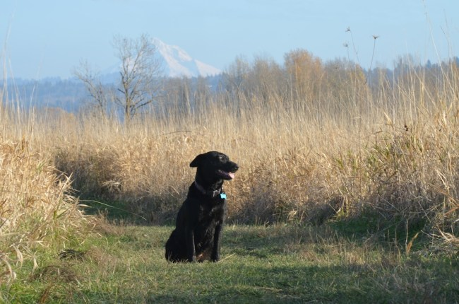 Willow looking stuning with Mt. Hood in the background