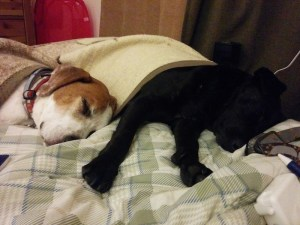Two dogs sleeping under a blanket together