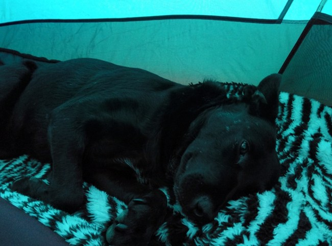 Dog drugged up on pain meds zonked out in the tent
