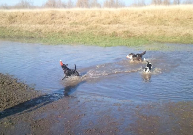 dogs romping in a muddy pond