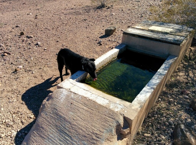 Willow drinking out of a wildlife watering hole