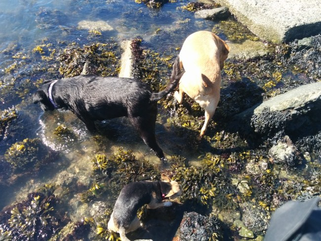 Three dogs walking in kelp water