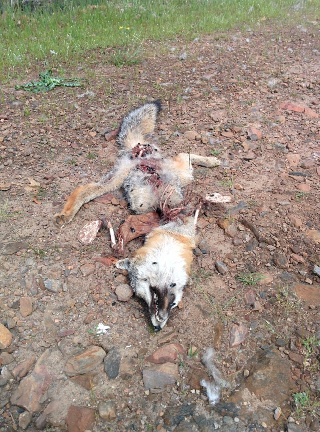 Dead fox after being partially consumed
